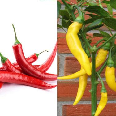 Bild von der Chili-Sorte Cayenne und Golden Cayenne